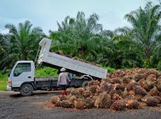 Oogst palmolie